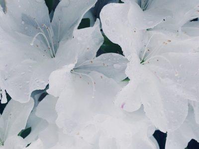 azalée blanc