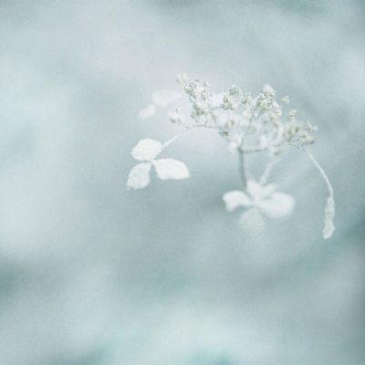 hiver Hydrangea