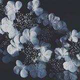 Hydrangea month